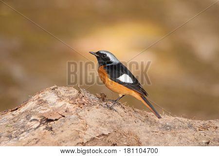 The Redstart bird seek a food on the stump