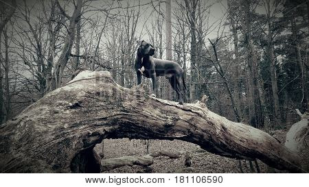 Bluenose pitbull standing on a large stock in the forrest