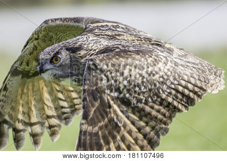 European eagle owl (Bubo bubo). Close up of this magnificent bird of prey in level flight profile.
