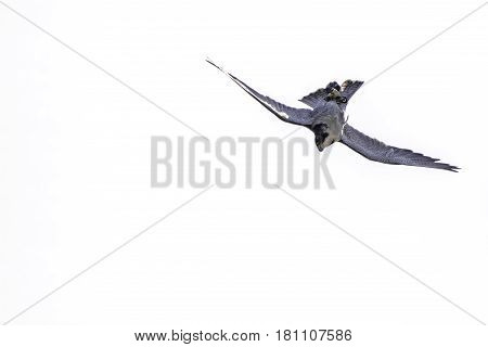 Peregrine falcon (Falco peregrinus) bird of prey upside down hunting stoop. High speed dive by the world's fastest animal. Here approaching 200 mph or 320 km/h. Plain white background with copy space.