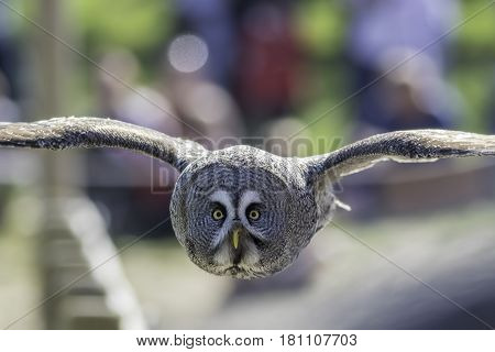 Great Grey (Gray) Owl (Strix nebulosa) bird of prey in level flight facing camera. Head on view displays the largest facial disc of any bird.