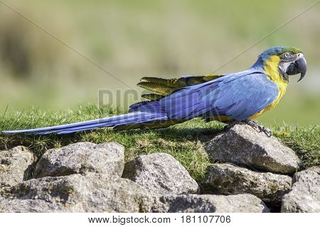 Blue and gold (yellow) macaw parrot in profile on rocks (Ara ararauna). Beautiful bird in wild environment.