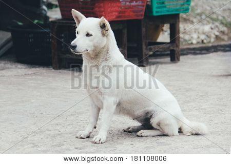 White Thai Stray Dog Sitting on a Walk Way Looking for Something, in Kanchanaburi, Thailand