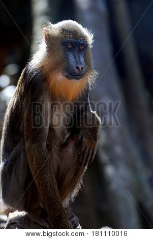 Youthful mandrill monkey sitting back on his haunches.