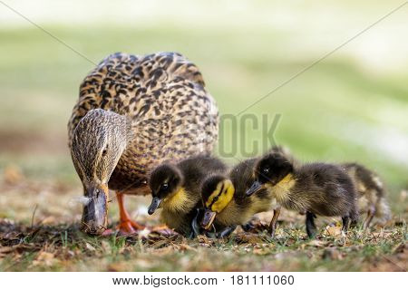 Mallard ducklings (Anas platyrhynchos) grazing feeding with adult female parent mum