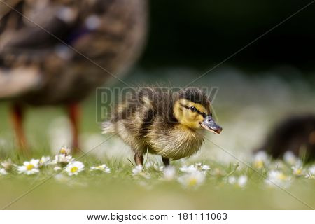 Mallard ducklings (Anas platyrhynchos) grazing feeding among daisies with adult parent behind