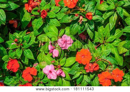 Closeup To Busy Lizzie/ Patience Plant/ Sultana/ Impatiens Walleriana Hook.f./ Balsaminaceae