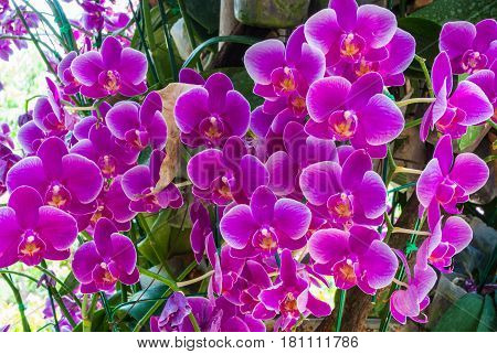 Closeup To Group Of Bright Purple Cymbidium Orchid