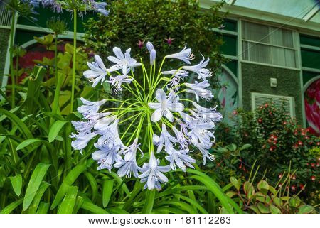 Closeup To African Lily/ Agapanthus/ Lily Of The Nile/ Agapanthus Headbourne Hybrids/ Agapanthaceae