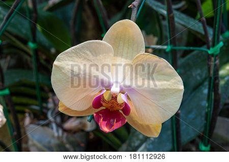 Closeup to Beautiful Purple Vanda Lilacina Teijsm & Binnend. Orchid/ ORCHIDACEAE