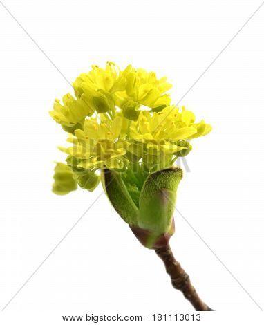 Flowering Spring Twigs Of Maple Tree