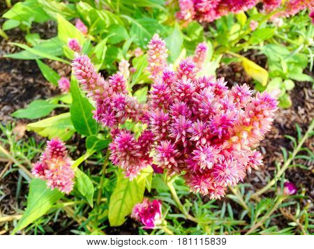 Celosia Pink