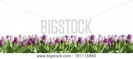 Happy Eastern pink and white Tulip on white background space greeting textspace side to side
