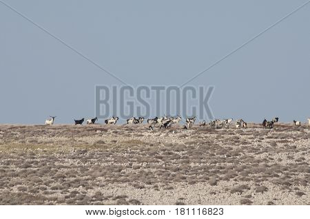 A tribe of goats on the Pag island, Croatia