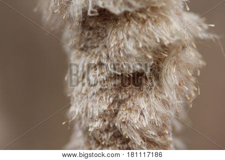 Close up of seeds of a cattail in Northern Michigan
