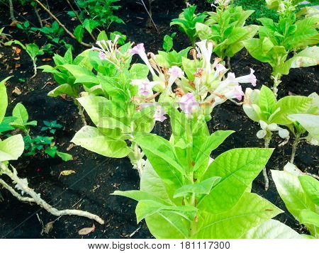 Nicotiana Tabacum L.