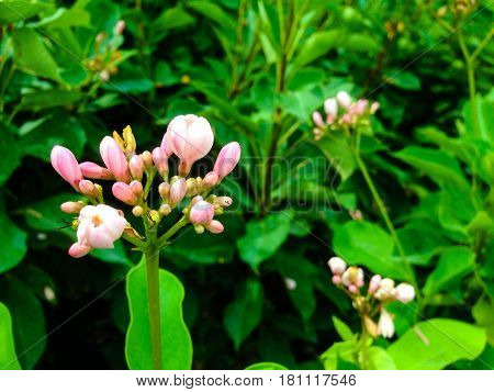 Pink Jatropha Integerrima Jacq.