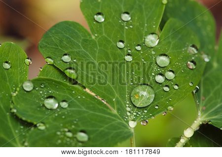 Drops of dew on leaves. Picturesque. Live nature