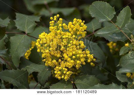 Bush of Oregon grape or Mahonia aquifolium in springtime, Sofia, Bulgatia