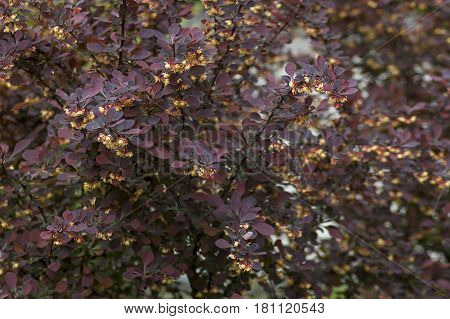 Berberis thunbergii or Japanese barberry, Red barberry, Thunberg's barberry - purple leaves and yellow flowers, Sofia, Bulgaria