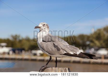 Sea gull at Bahia Honda key in Florida United States