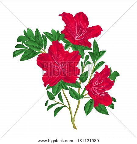 Red rhododendron twig mountain shrub vintage vector illustration