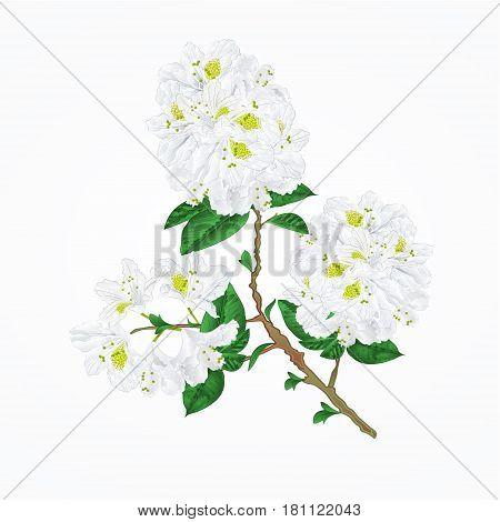 Twig white rhododendron mountain shrub vintage vector illustration