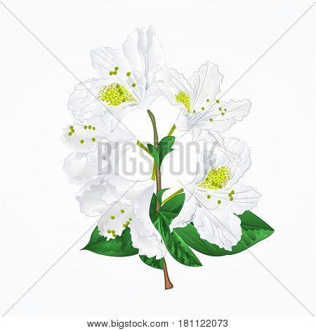 White rhododendron twig mountain shrub vintage vector illustration