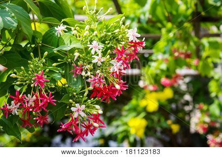 Blooming Chinese honeysuckle Rangoon Creeper or Combretum indicum flowers with blurry nature background