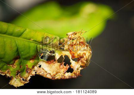 Half yellow & half green leaf of Barringtonia acutangula