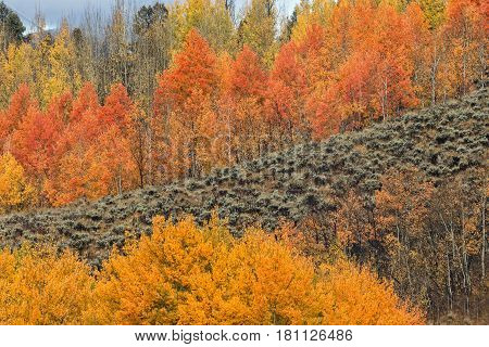 a beautiful grove of aspens in fall in Wyoming