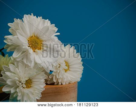 Beautiful chrysanthemum as background picture. Chrysanthemum wallpaper. (with free space for text)