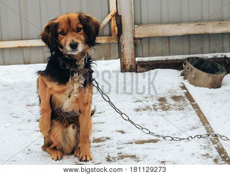 Yard dog on a chain looks devotion glance