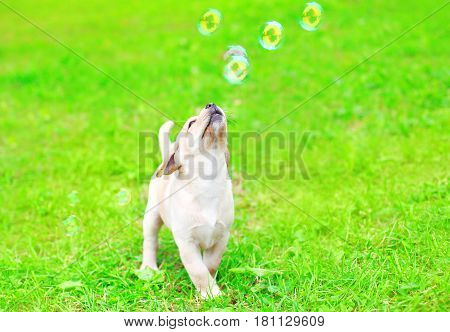 Beautiful Dog Puppy Labrador Retriever Is Playing With A Soap Bubbles On The Grass