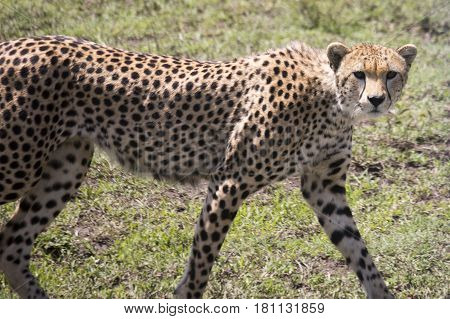 Portrait Of Cheetah, Serengeti, Tanzania