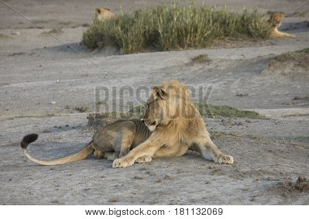 Male Lion On Banks Of Lake Masek, Serengeti, Tanzania
