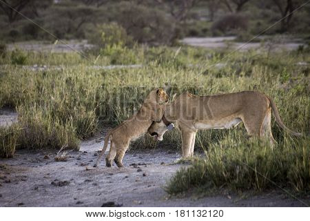 Lion Cub With Lioness On Banks Of Lake Masek, Serengeti, Tanzania