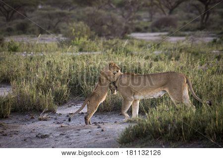 Lion Cub Playing With Lioness On Banks Of Lake Masek, Serengeti, Tanzania