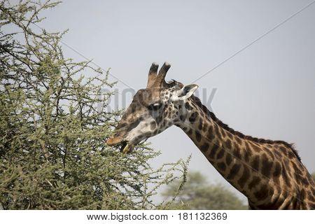 Giraffe Grazing In Serengeti, Tanzania
