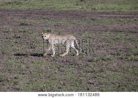 Cheetah Youth On Prowl In Serengeti, Tanzania