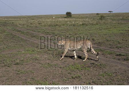 Cheetah On Prowl In Serengeti, Tanzaznia
