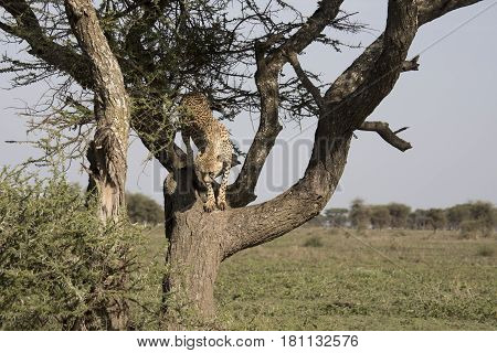 Cheetah In Acacia Tree Serengeti, Tanzania
