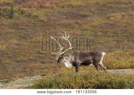a barren ground caribou bull in velvet in Denali National Park Alaska
