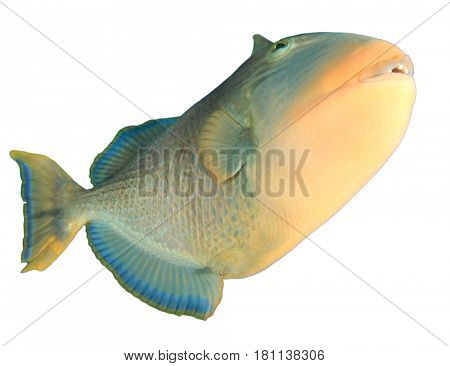 Yellowmargin Triggerfish fish isolated on white background