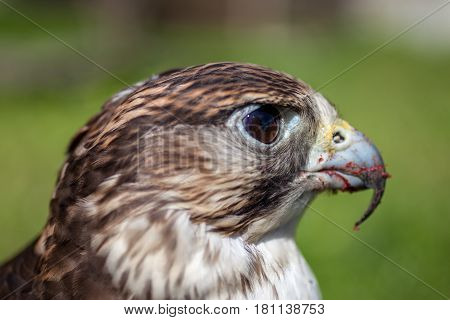 Falcon With A Bloody Beak After A Meal