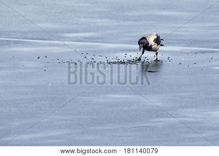 Hooded Crow Looking For Food On Ice Of Frozen Lake
