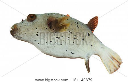 Blackspotted Puffer fish isolated on white background