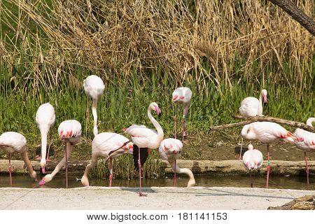 Pink Flamingoes In Pool