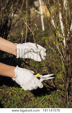 Gardening Concept: Pliers In The Hand, Cutting Of Branches Of Blackcurrant