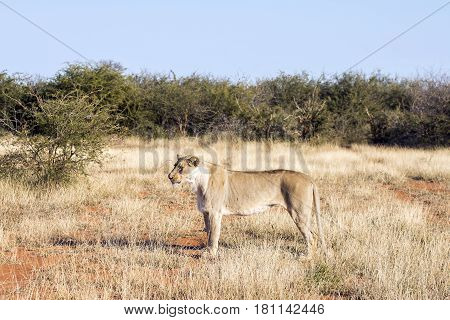 Picture of a lion in Madikwe game reserve,South Africa.